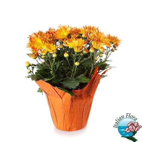 fiori di garofano pianta di garofano