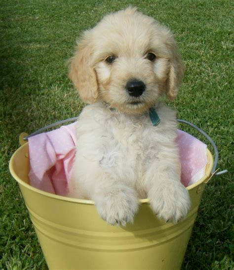 doodle what do they goldendoodle do they shed faqs shelby goldendoodles
