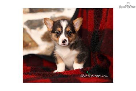 teacup corgi puppies for sale corgi pembroke puppy for sale near reading pennsylvania 7d34641f 30f1