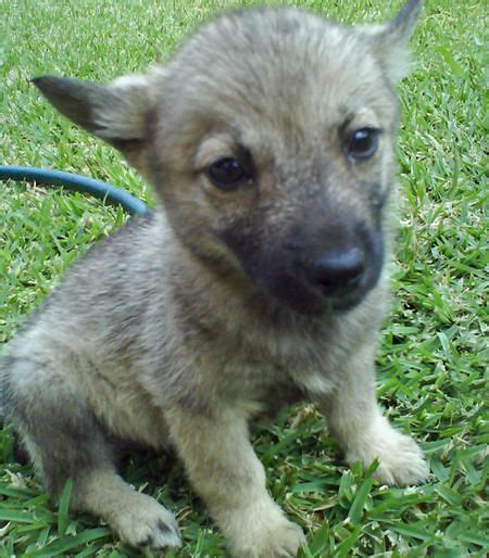 vallhund puppies 102 best images about swedish vallhunds on wolves cattle and wolf corgi