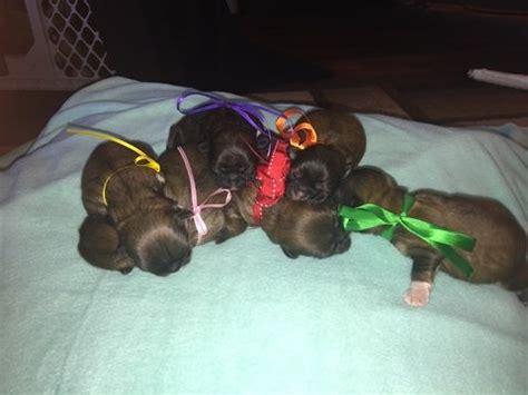 puppies for sale sioux falls 17 best ideas about pekingese puppies on pekingese dogs pekingese puppies
