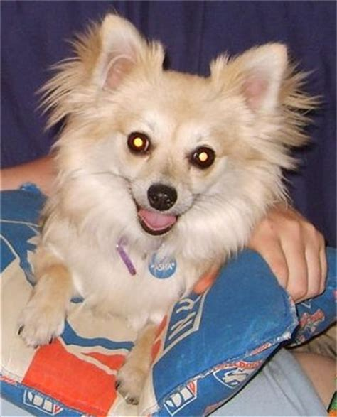 pomeranian and chihuahua mix grown pomchi pomeranian chihuahua mix info temperament puppies pictures