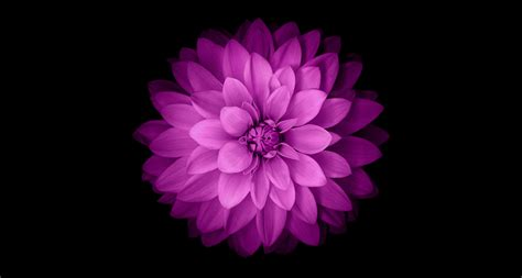 iphone 6 flower wallpaper iphone 6 official purple flower desktop wallpaper