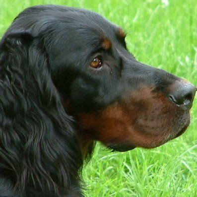 gordon setter dog temperament 160 best images about leslie s gordon setter board on