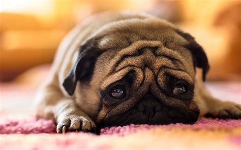 sad pug puppy sad pug desktop background hd 1920x1080 deskbg