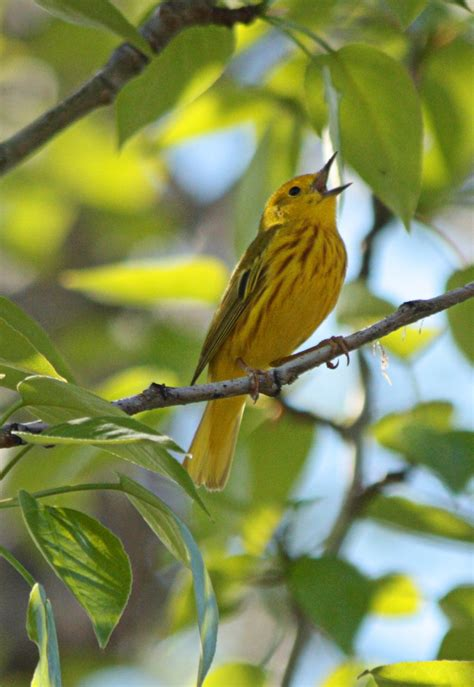 dealing with uncertainty how will alberta s boreal birds