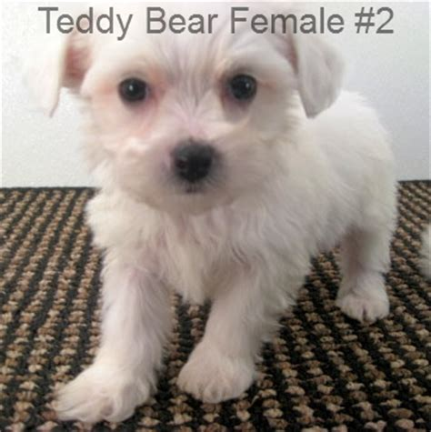 caney fork bichon and havanese caney fork bichon teddy