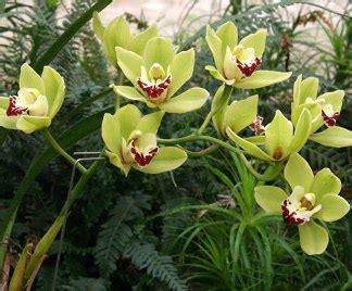manutenzione orchidee in vaso fioritura orchidee