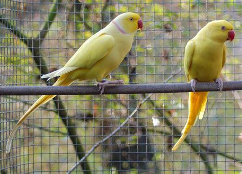 alimentazione parrocchetto dal collare grangala di pappagalli allevare il parrocchetto dal collare