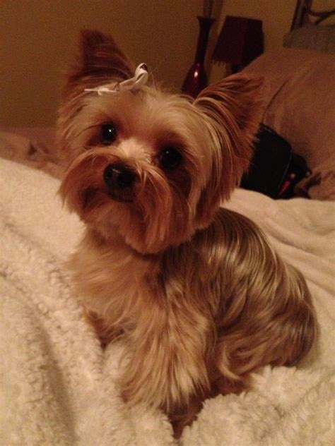 yorkie westie cut yorkie westie cut yorkie puppy cut pictures hairstylegalleries yorkie brutus
