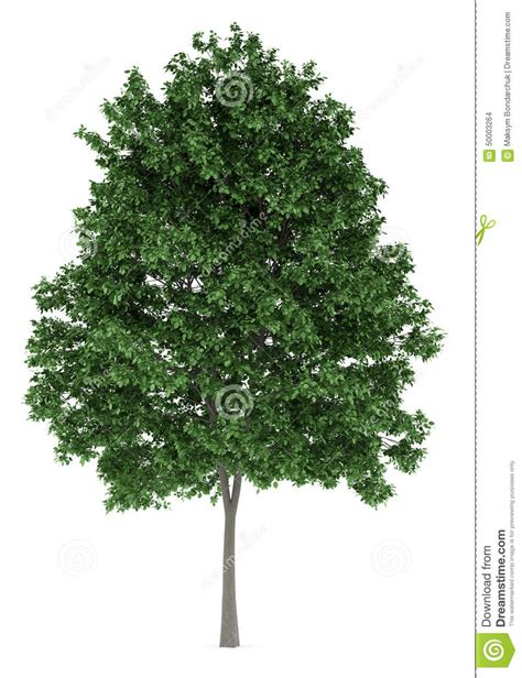Arbre Charme Photo by Arbre Commun De Charme Sur Le Blanc Illustration Stock