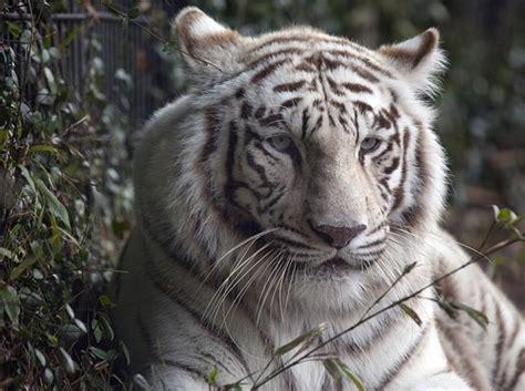 Kaos Lukis Harimau 5 gambar 7 hewan berwarna putih langkanya khan maen gengs