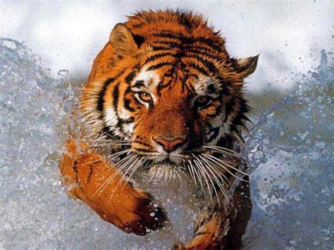 imagenes tumblr de tigres imagenes de tigres gif imagui
