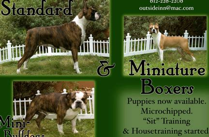 boxer puppies for sale in mn puppies for sale in michigan boxer puppies for sale in breeds picture