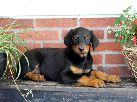 doberman puppies cost doberman pinscher pet insurance compare plans prices