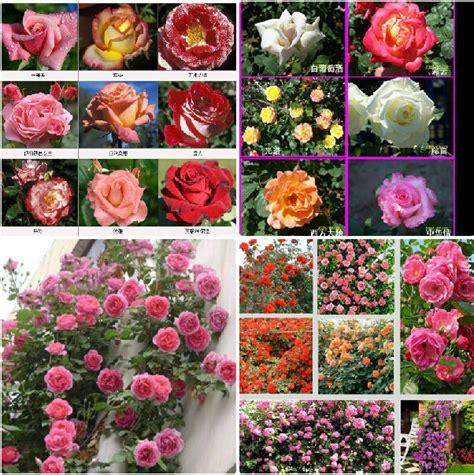 100 seeds climbing rose seeds plants spend climbing roses 100seeds lot 24 kinds mix climbing rose chinese rose