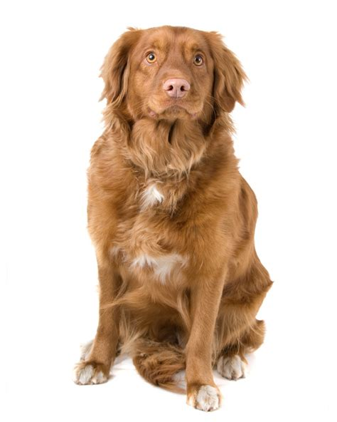 duck tolling retriever puppies for sale breeds puppies for sale scotia duck tolling retriever puppies breeds picture