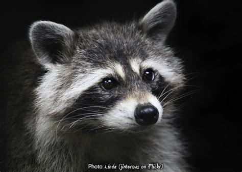 raccoon and raccoons of new york