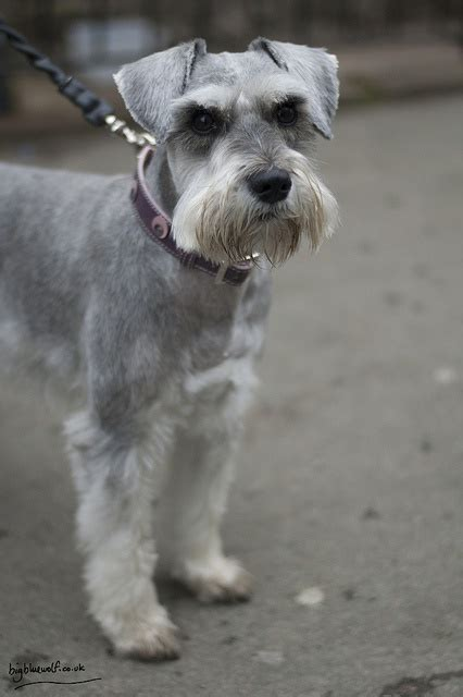 7 pageant worthy schnauzer dog haircuts hairstylec schnauzer hair cut for winter 25 best ideas about