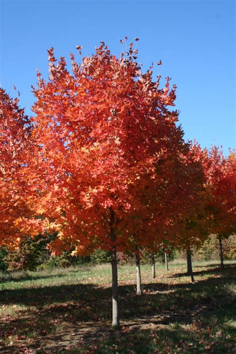 maple tree virginia virginia tree farm legacy sugar maple shade tree farm