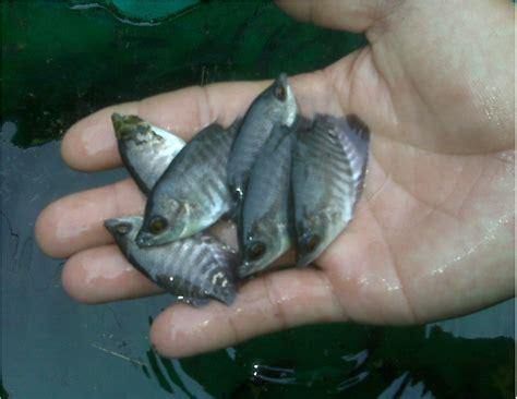 Bibit Gurame 2 Ons cara jitu budidaya ikan gurame aneka ikan hias
