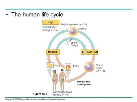 human cycle diagram meiosis and sexual cycles ppt