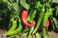 Garden Salsa Pepper by Vegetables In 3 Pots