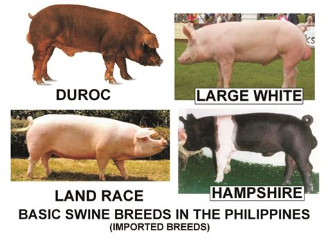 Backyard Discovery Slide Pig Breed Images