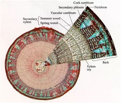 difference between monocot and dicot root cross section what is the difference between a dicot stem and a monocot