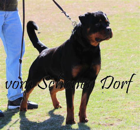 german rottweiler stud service akc german rottweiler stud service breeds picture