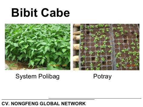 Pupuk Nongfeng Untuk Cabe teknis budidaya tanaman cabe