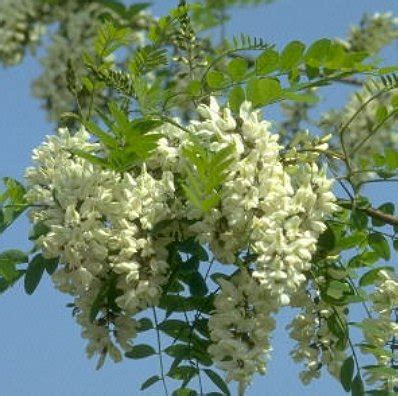 fiori d acacia antico egitto terra di fiori e profumi caf 233 des arts