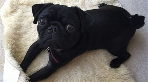 pug mascot 9s pug mascot stolen from in itv news