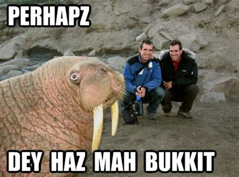 Walrus Meme - funny walrus bucket www pixshark com images galleries