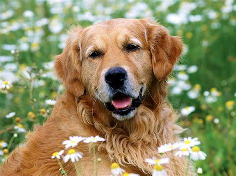 picture of golden retriever golden retriever animals photos