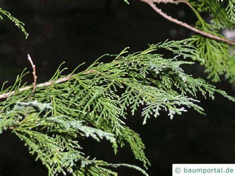 Scheinzypresse Pflege by Scheinzypresse Blaue Chamaecyparis Lawsoniana Glauca