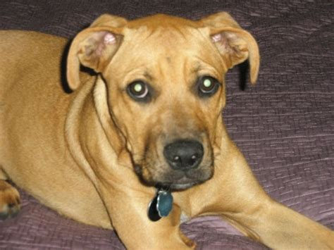 lab boxer puppy rhodesian ridgeback labrador retriever hybrid dogs breeds picture