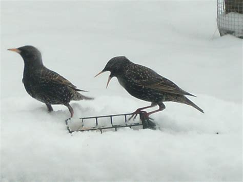 european starling birds of washington state and