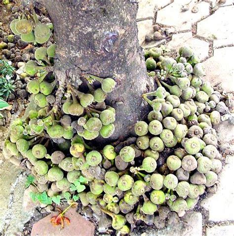 Indukan Pohon Tin Brown Turkey rumahpohontinarcamanik april 2012