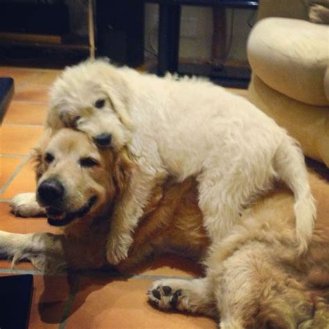 affectionate dogs the 15 most affectionate breeds that you need to before getting a urdogs