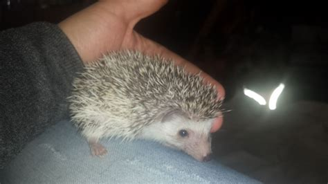hedgehog for sale baby pygmy hedgehogs for sale ready now nottingham