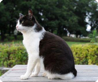 imagenes en blanco y negro gatitos fotos de gatos blanco y negro gatos dom 233 sticos gatos
