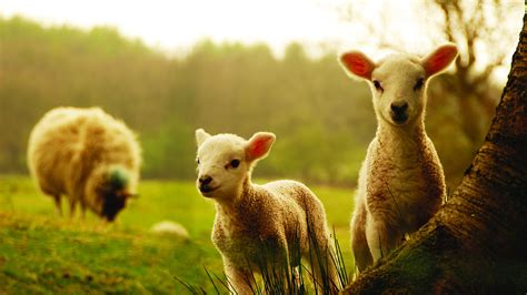 new year sheep wallpaper hd wallpaper sheep field grass new zealand desktop