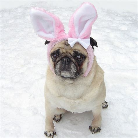 adorable pug pictures pug easter bunny costume flickr photo