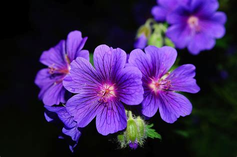 flowers that bloom at night free photo flower blossom bloom blue free image on