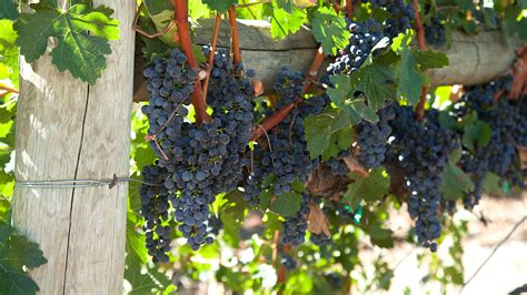 Do You To Use Organic Grapes For A Detox by It S Not Late To Plant Grapes Organic Gardening