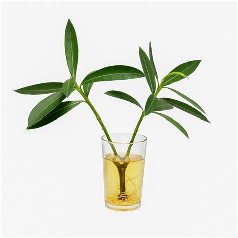 Oleander Vermehren by Oleander Vermehren 187 Mit Diesen Methoden Gelingt S