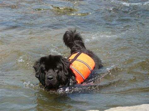 water rescue dogs 8 awesome careers for dogs what every deserves