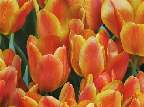 beautiful orange beautiful orange tulips wallpaper wallpapers9