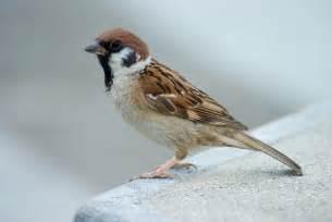 file tree sparrow japan flip jpg wikipedia